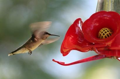 hummingbird-2677244_640