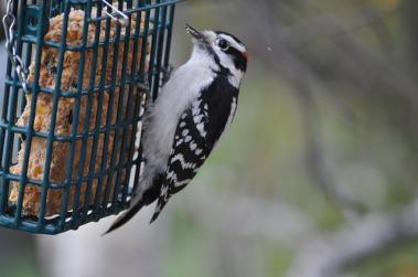 woodpecker-1243254_640